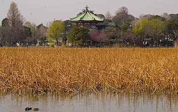 Reeds in front of Bentendo Shrine, Ueno Park.
