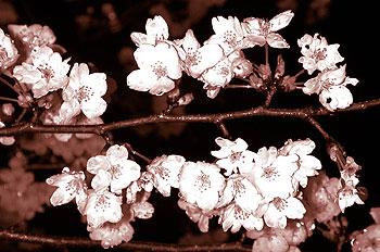 Cherry blossoms at night, Maruyama Park.